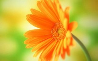 Обои цветок, лепестки, оранжевые, тычинки, стебель, зеленый
