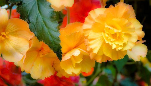 Фото бесплатно бегония, цветы, флора