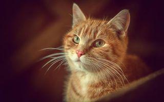 Бесплатные фото кот,рыжий,морда,глаза,усы,шерсть