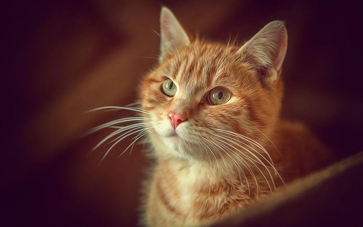Фото бесплатно кот, рыжий, морда, глаза, усы, шерсть, кошки
