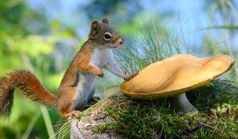 Фото бесплатно белка, гриб, грызун