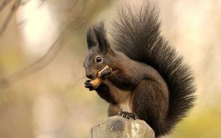 Бесплатные фото белка,морда,уши кисточки,хвост,шерсть,лапы,орех