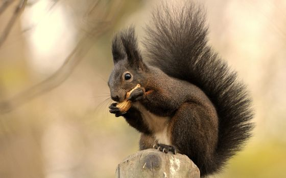 Photo free squirrel, muzzle, ears brushes
