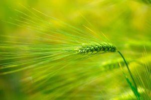 Фото бесплатно поле, колосья, макро