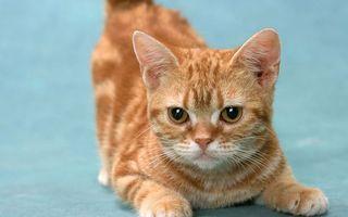 Бесплатные фото кот,рыжий,морда,глаза,лапы,шерсть