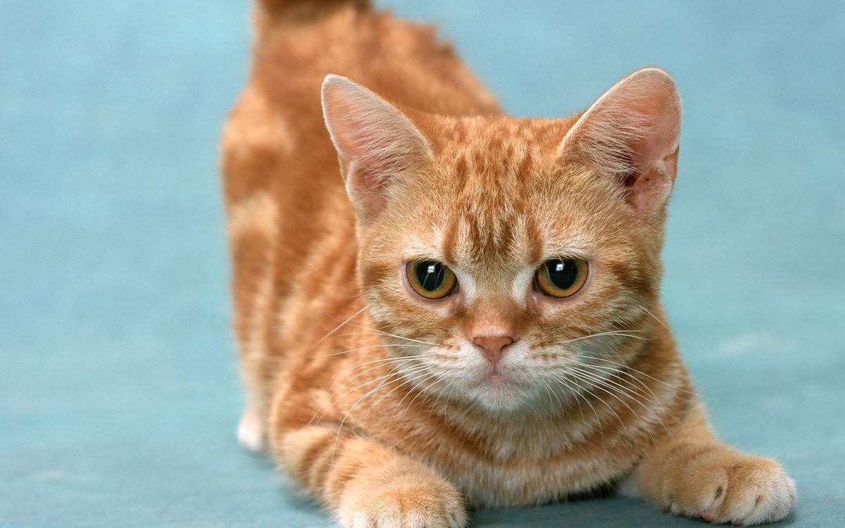 Фото бесплатно кот, рыжий, морда, глаза, лапы, шерсть, кошки - скачать на рабочий стол