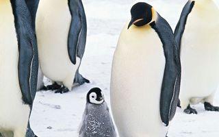 Бесплатные фото пингвины,перья,клювы,крылья,птенец,пух,снег