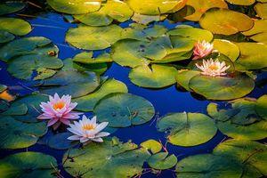 Бесплатные фото водоём,листья,цветы,водяная лилия,природа