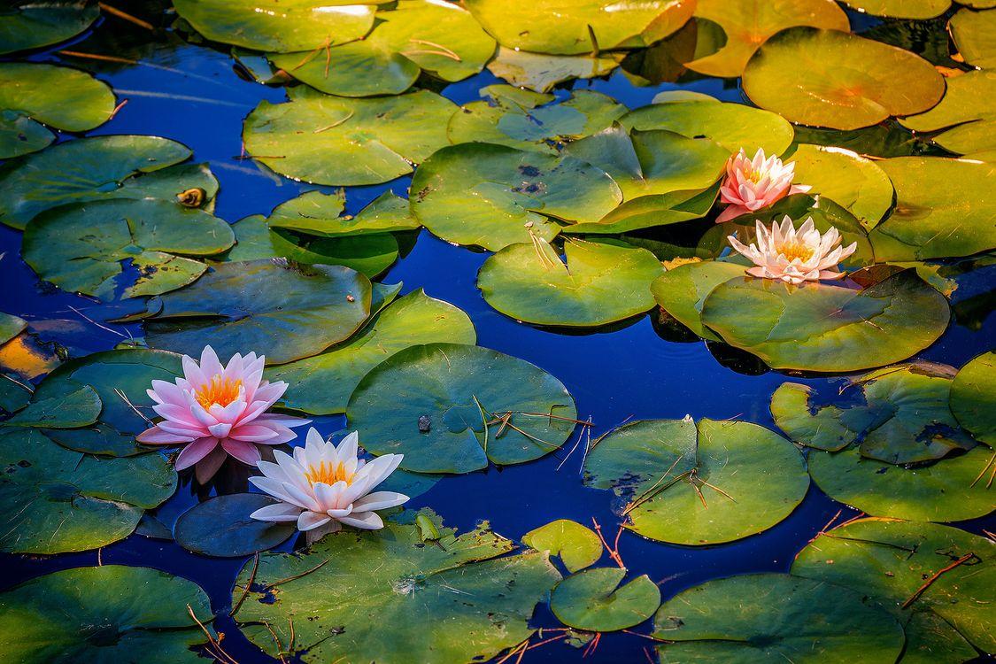 Фото бесплатно водоём, листья, цветы, водяная лилия, природа, природа - скачать на рабочий стол