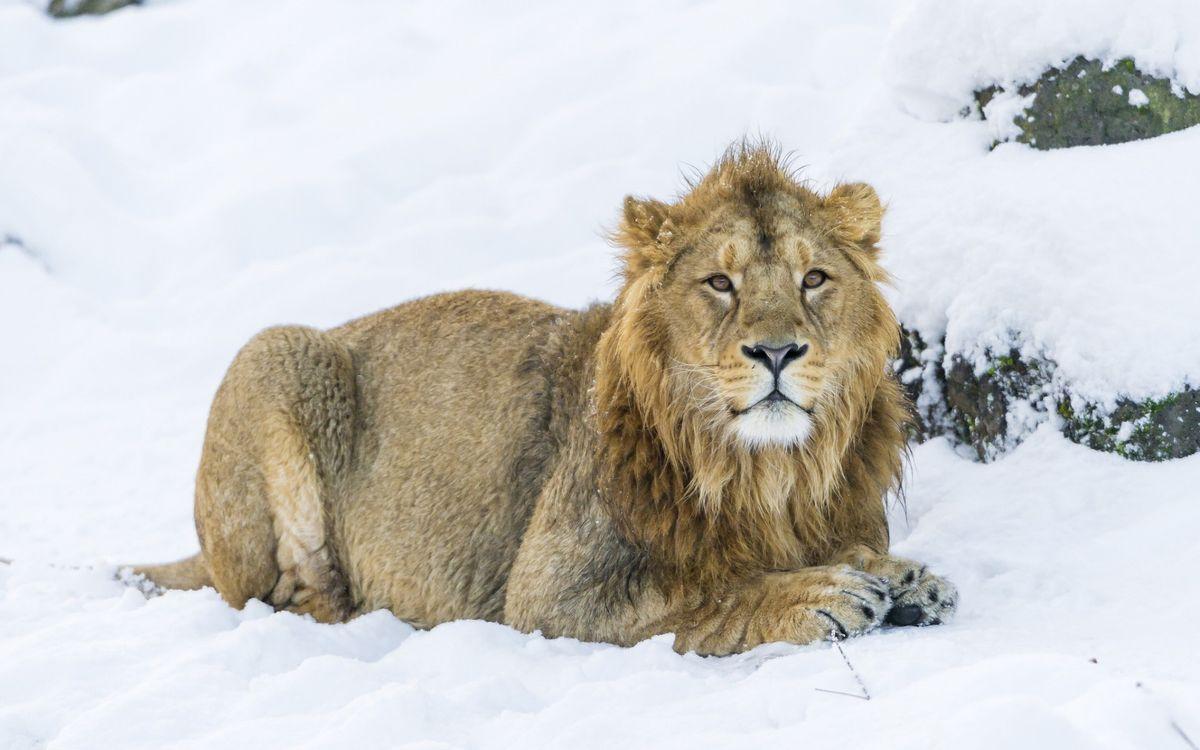 Фото бесплатно лев, морда, грива, лапы, шерсть, снег - на рабочий стол