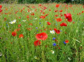 Обои поле, трава, цеты, маки, ромашки, флора