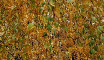 Бесплатные фото ветки,листья,берёза,осень,природа