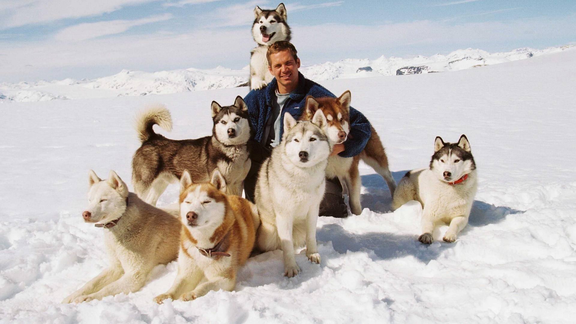 обои Хаски, собаки, Пол Уокер, сугробы картинки фото