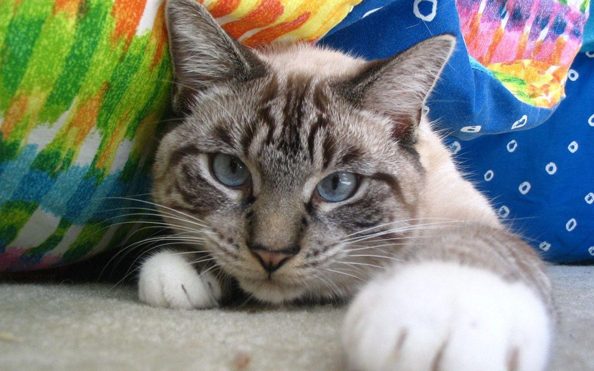 Фото бесплатно кот, морда, глаза голубые, лапы, шерсть, одеяло, кошки - скачать