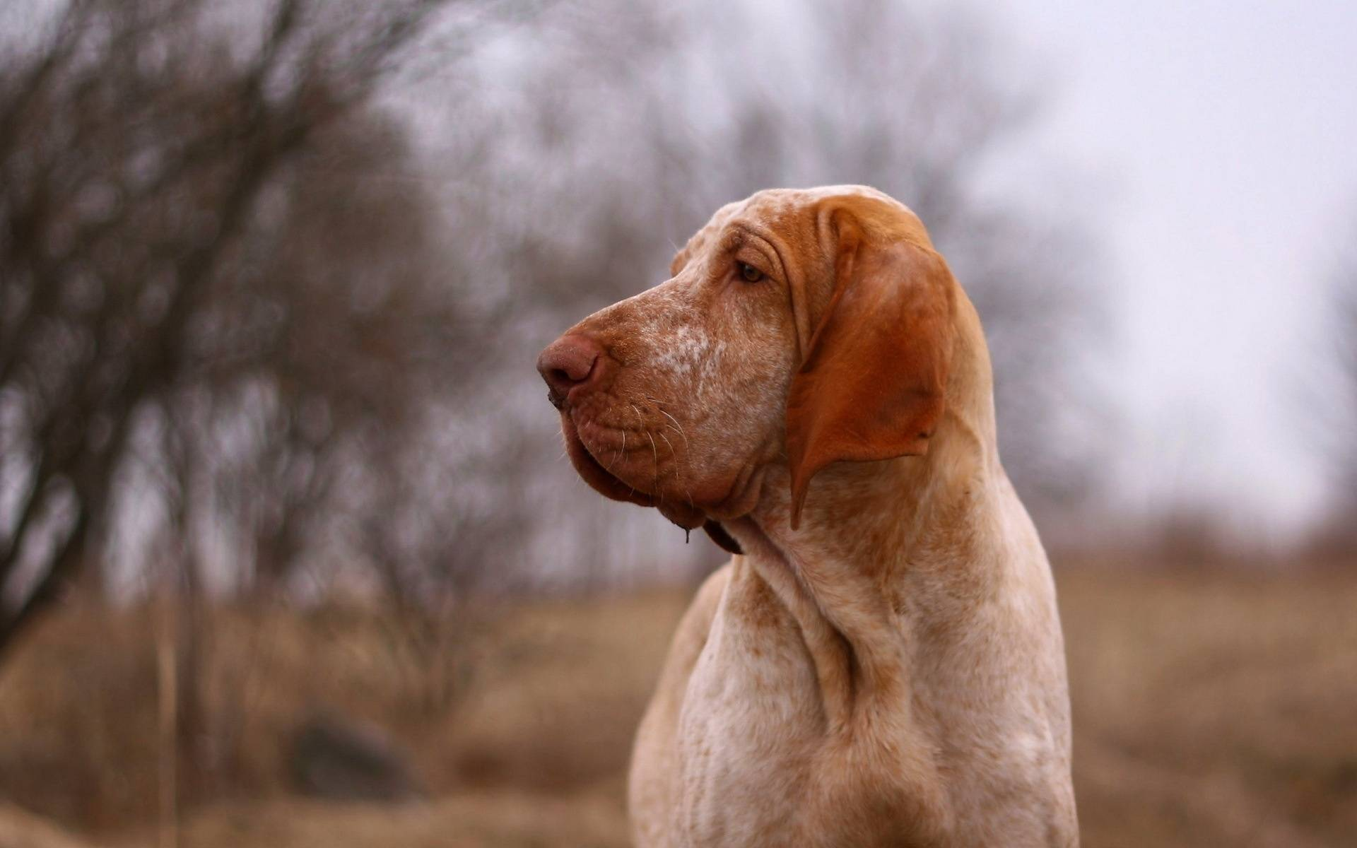 Обои пес, морда, уши, нос