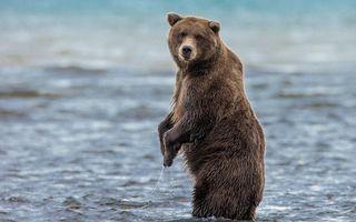 Бесплатные фото река,медведь,бурый,стойка,морда,шерсть,мокрая