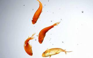 Обои рыбки, оранжевые, плавники, хвосты, чешуя, вода, пузырьки