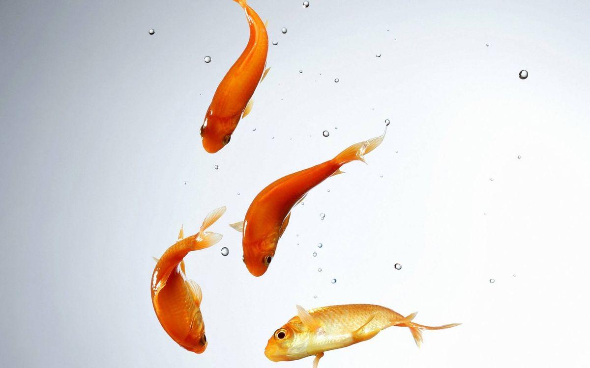 Фото бесплатно рыбки, оранжевые, плавники, хвосты, чешуя, вода, пузырьки, подводный мир - скачать на рабочий стол
