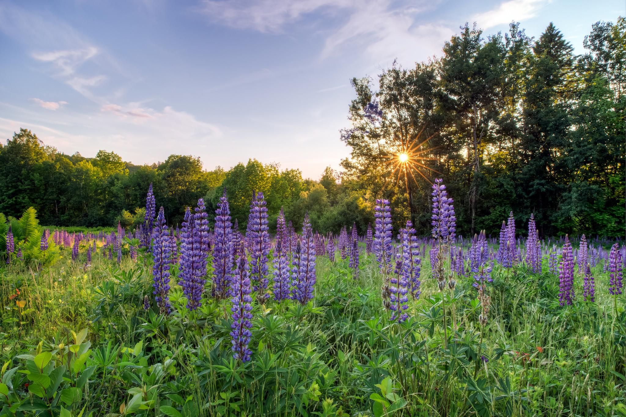 обои закат, поле, цветы, люпин картинки фото