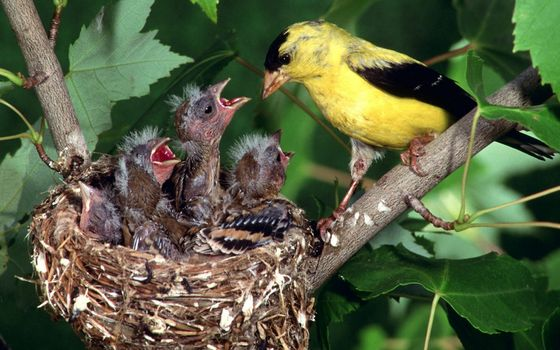 Бесплатные фото гнездо,птенцы,крик,мать,желтая,перья,ветви,листва