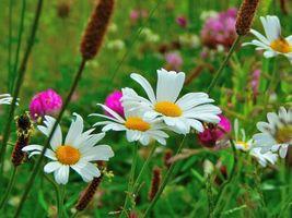 Фото бесплатно поле, цветы, ромашки
