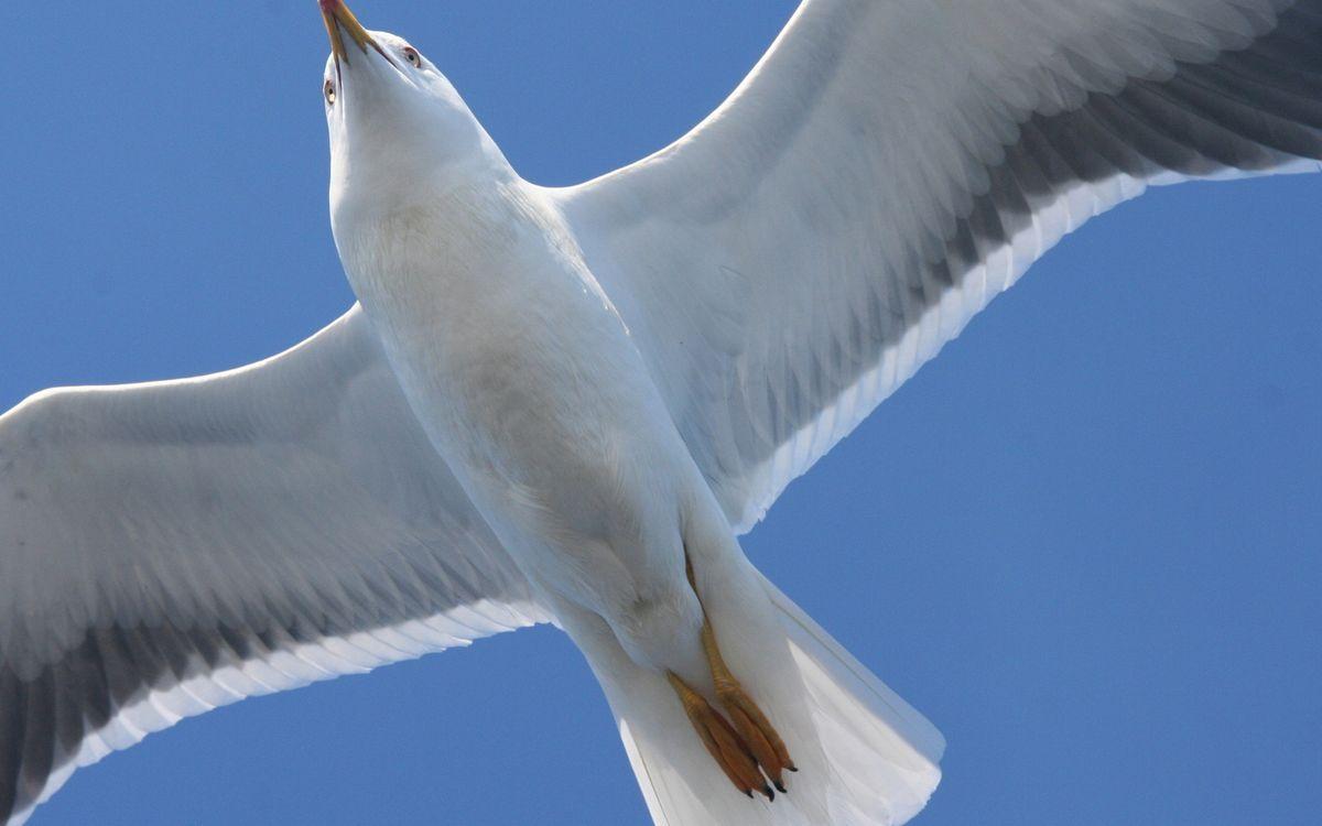 Фото бесплатно крылья, полет, лапы - на рабочий стол