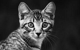 Фото бесплатно черное и белое, котенок, волосы