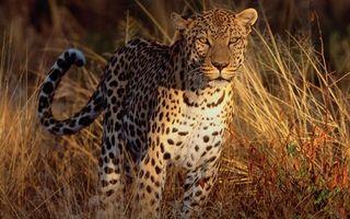 Бесплатные фото леопард,морда,шерсть,окрас,пятна,хвост,трава
