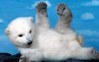 Бесплатные фото медвежонок,белый,полярный,морда,лапы,шерсть