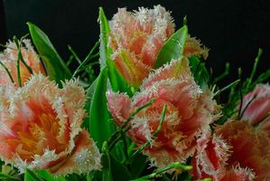 Заставка тюльпаны, флора на монитор