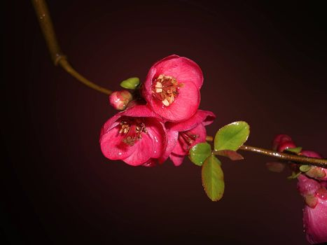 Cherry Blossoms, цветок, ветка, макро, флора