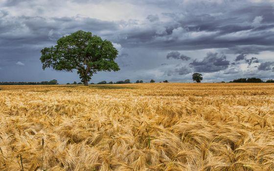 Фото бесплатно поле, дерево, колосья