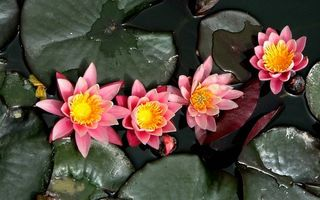 Бесплатные фото водоем,кувшинки,лепестки,розовые,пестики,тычинки,листья