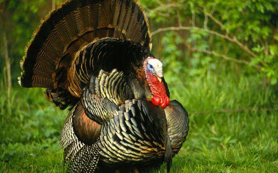 Бесплатные фото индюк,перья,крылья,хвост,клюв,трава