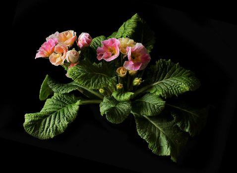 Фото бесплатно примула, цветок, флора