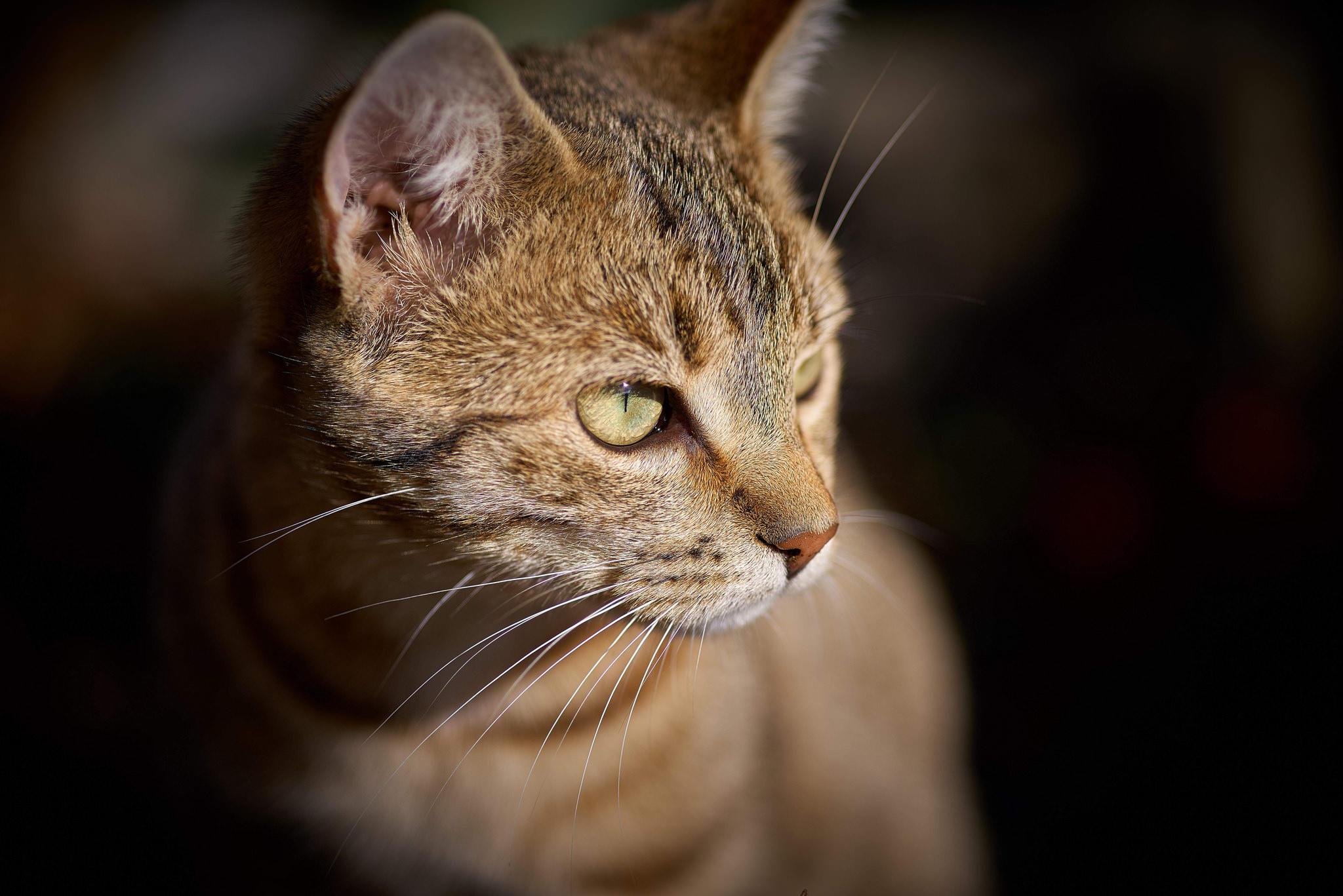 Обои кошка, кот, животное, взгляд