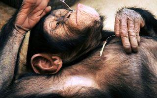 Фото бесплатно руки, шимпанзе, уши