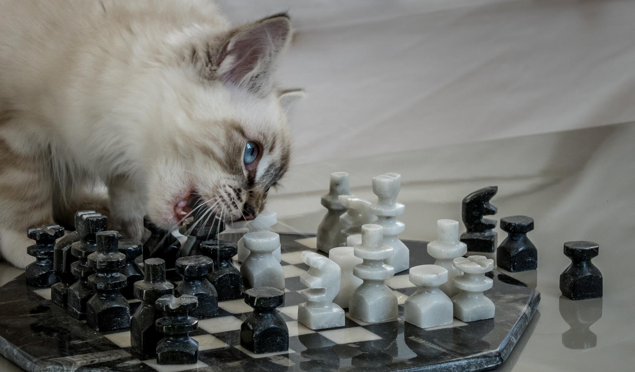 обои кот, кошка, котёнок, шахматы картинки фото