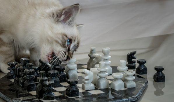 Бесплатные фото кот,кошка,котёнок,шахматы