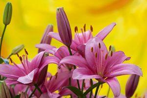 Бесплатные фото лилия, лилии, цветы, флора