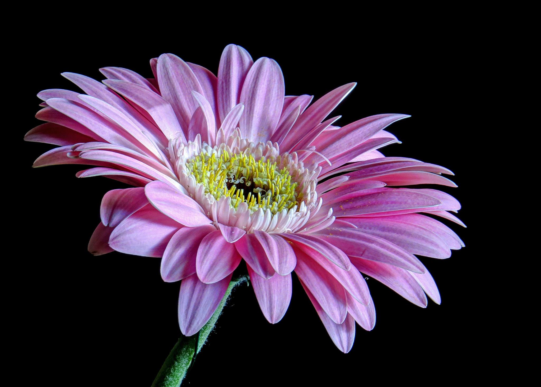 обои гербера, цветок, флора картинки фото