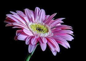 Фото бесплатно гербера, цветок, флора
