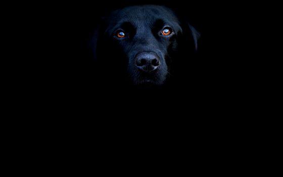 Бесплатные фото пес,черный,морда,глаза,оранжевые,фон черный