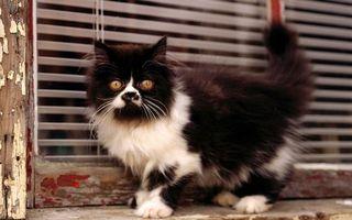Бесплатные фото подоконник,жалюзи,кот,черно-белый,пушистый,глаза