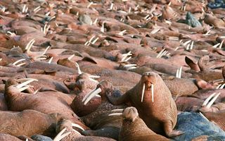 Бесплатные фото берег,лежбище,моржи,туши,бивни,клыки
