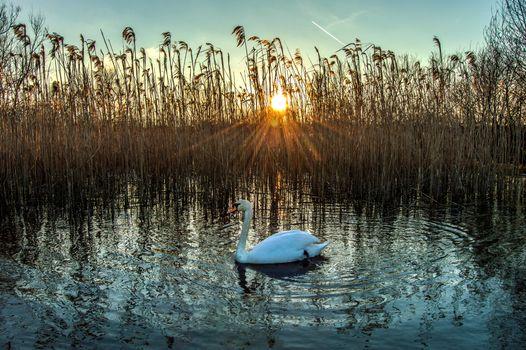 Фото бесплатно озеро, закат, лебедь