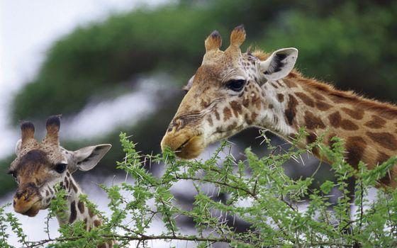 Фото бесплатно жирафы, морды, рожки