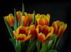 Фото бесплатно цветы, тюльпаны, тюльпан