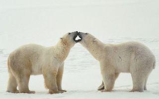 Бесплатные фото умки,медведи,белые,полярные,целуются,снег