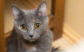 Фото бесплатно котенок, серый, морда, глаза, желтые, шерсть